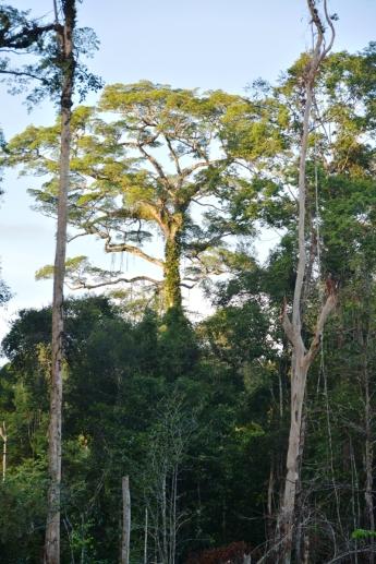 Kalimantan forest